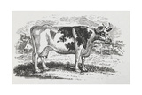 A Cow Giclee Print by Thomas Bewick
