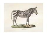 A Female Zebra. Giclee Print