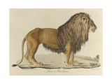 a Barbary Lion Giclee Print