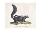 Skunk Giclee Print