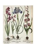 Gladiolus and Iris Giclee Print