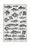 Fish Giclee Print by Isabella Beeton