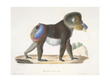 an Old Mandrill Baboon Giclee Print