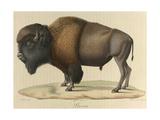 Bison Giclee Print