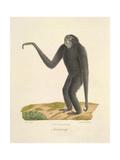 A Furred Gibbon Giclee Print