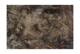 Natural Matter On Forest Floor Giclee Print by Fay Godwin