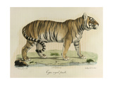 A Female Royal Tiger Giclee Print by C. de Last
