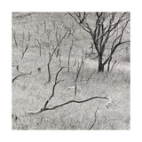 Parched Trees, Hawaii 1988 Giclee Print by Fay Godwin