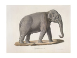 An Asian Elephant Giclee Print