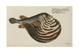 The Striped Globe Fish Giclee Print by Marcus Bloch
