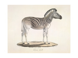 The Striped Zebra Of South Africa Giclee Print