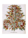 Amaranthus Tricolor Giclee Print