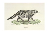 A Civet Giclee Print by  Werner