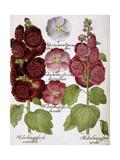 Malva Hortensis Giclee Print