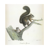 A Squirrel Giclee Print by  Werner