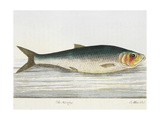 The Herring Giclee Print by E. Albin