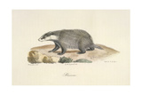 A Badger Giclee Print by  Werner