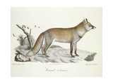 A Fox Giclee Print by  Werner