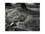 Plants Covered by Net at Base Of Tree Giclee Print by Fay Godwin