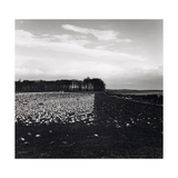 Turnips and Sheep Near Dunino East Neuk Of Fife Giclee Print