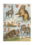 V, W, X, Y and Z. V For Vicugna, W For Walrus, X For 'xtinct Animal, Y Is For Yal, and Z Is Zebra Giclee Print by Ernest Griset