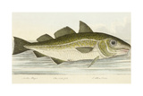The Cod Fish Giclee Print by E. Albin
