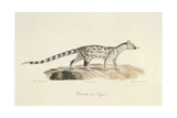 A Common Genet Giclee Print by  Werner