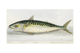 A Mackerel Giclee Print by E. Albin