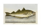 The Whiting Giclee Print by E. Albin
