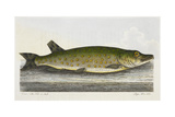 The Pike Or Jack Giclee Print by E. Albin