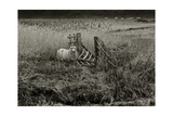 Sheep Near Broken Gate in Field Giclee Print by Fay Godwin