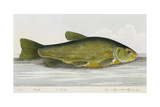 The Tench Giclee Print by E. Albin