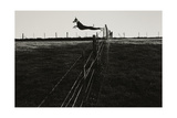 Dog Leaping Fence in Farmland Giclee Print by Fay Godwin