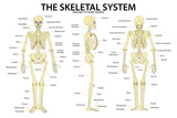 The Skeletal System Anatomy and Physiology Science Chart Prints
