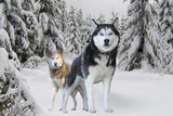 Huskies in Snow Poster Prints