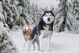 Huskies in Snow Poster Prints