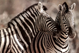 Kissing Zebras in the Wild Animal Picture Poster Prints