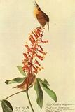 Audubon Carolina Wren Bird Poster Poster