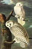 Audubon Snowy Owl Bird Poster Posters