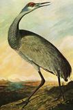 Audubon Sandhill Crane Bird Poster Prints