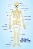 Human Skeleton Anatomy Anatomical Ch Poster