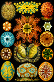 Ascidiae Nature by Ernst Haeckel Prints by Ernst Haeckel