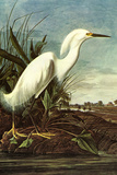Audubon Snowy Egret Bird Poster Posters