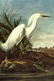 Audubon Snowy Egret Bird Prints