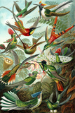 Trochilidae Nature Poster by Ernst Haeckel Print