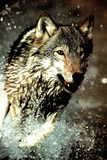 Wolf Running in Water Poster Poster