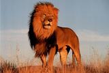 Lion (Standing) Fotografía