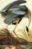 Audubon Great Blue Heron Bird Poster Prints