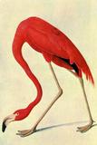 Audubon Flamingo Bird Poster Posters