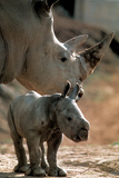 White Rhinoceros (With Baby) Photo
